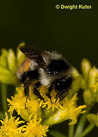 BU06-500z  Bumblebee worker collecting pollen and nectar, Red -tailed Bumblebee, Bombus ternarius