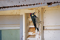 Acorn Woodpecker (Melanerpes formicivorus) working to store acorns in the side of old ranch house.  CA.  Winter.