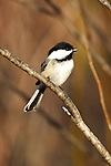 Black-capped chickadee (Poecile atricapilla) perched on a tree branch.  Winter, WI.
