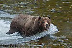 Large male grizzly bear fording river. Yellowstone National Park, Wyoming.