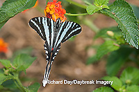 03006-002.14 Zebra Swallowtail (Eurytides marcellus) on Red Spread Lantana (Lantana camara) Marion Co.  IL