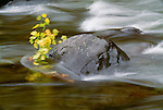 A river flows by a fallen maple branch nestled next to a rock, Washington.