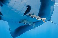 manta ray, Manta birostris, with remora, suckerfish, Remora remora, San Benedicto, Revillagigedo (Socorro) Islands, Mexico, East Pacific Ocean
