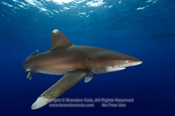 TG0839-D. Oceanic Whitetip Shark (Carcharhinus longimanus), once quite abundant and widespread, this species has suffered dramatic reduction of numbers due to shark fishing. In some regions populations are now classified as critically endangered by the International Union for Conservation of Nature (IUCN) in some regions as a result of intensive fishing for their fins, which are highly valued as an ingredient in shark fin soup popular in Asian markets. Egypt, Red Sea.<br /> Photo Copyright &copy; Brandon Cole. All rights reserved worldwide.  www.brandoncole.com