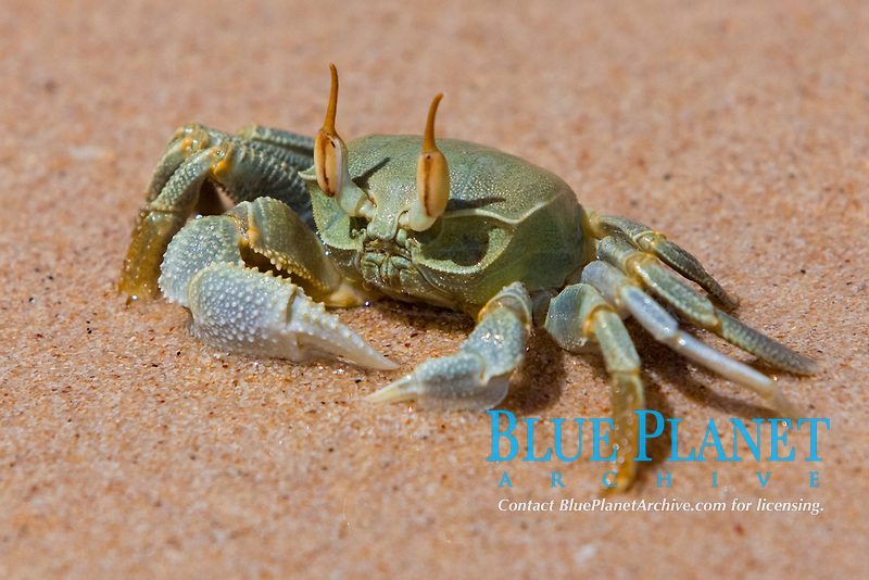 horned ghost crab, horn-eyed ghost crab, Ocypode ceratophthalma, on the beach, Seychelles, Indian Ocean, Africa