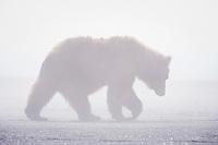 Kodiak grizzly bear (Ursus arctos middendorffi) silhouette, Hallo Bay.