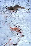 Whitetail deer kill