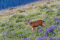 Columbian black-tailed deer (Odocoileus hemionus columbianus) buck in subalpine meadow filled with wildflowers.  Olympic National Park, WA.  Summer.