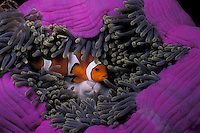 A Western Clown Anemonefish, Amphiprion ocellaris, snuggles among the tentacles of its host sea anemone, Heteractis magnifica. The anemonefish is immune to the tentacles' sting, allowing it to hide from predatory fish that avoid the tentacles. The anemone also benefits, as the anemonefish will fiercely defend its host. Similan Islands Marine National Park, Thailand, Andaman Sea