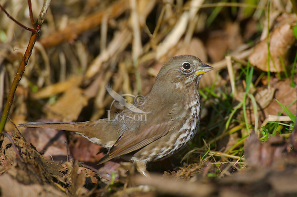 Hermit Thrush (Catharus guttatus).  Pacific Northwest.