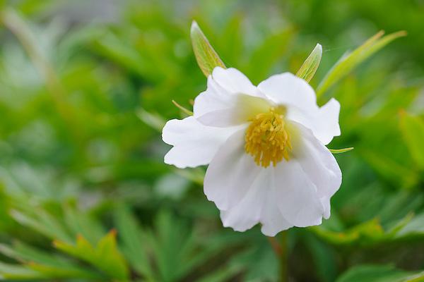 Paeonia veitchii 'Alba'