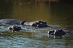 The Kruger National Park is the largest game reserve in South Africa and one of the world's biggest wildlife sanctuaries. , Hippopotamus wallow in the a river  during the morning.  South Africa.   Wednesday  23rd June 2010. Photo: (Steve Christo)