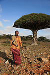 Shepperd in front of a dragon blood tree on the Diksam plateau.. Yemen.