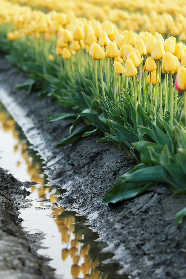 Row of yellow tulips reflected in mud puddle, Mount Vernon, Skagit Valley, Skagit County, Washington, USA