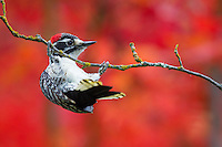 Nutall's Woodpecker, Picoides nuttallii, hanging from branch