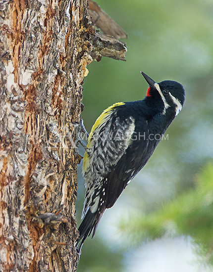 One of my favorite Yellowstone birds is the Williamson's sapsucker.