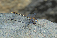 389030026 a wild male gray sanddragon progomphus borealis sits on a rock near a pond near keoh hot springs inyo county california