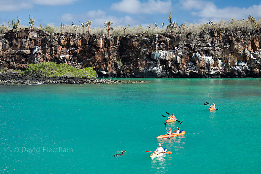 A Galapagos sea lion, Zalophus californianus wollebacki, takes a close look at a group of kayakers (MR) exploring the waters off Santa Cruz Island, Galapagos Archipelago, Ecuador.