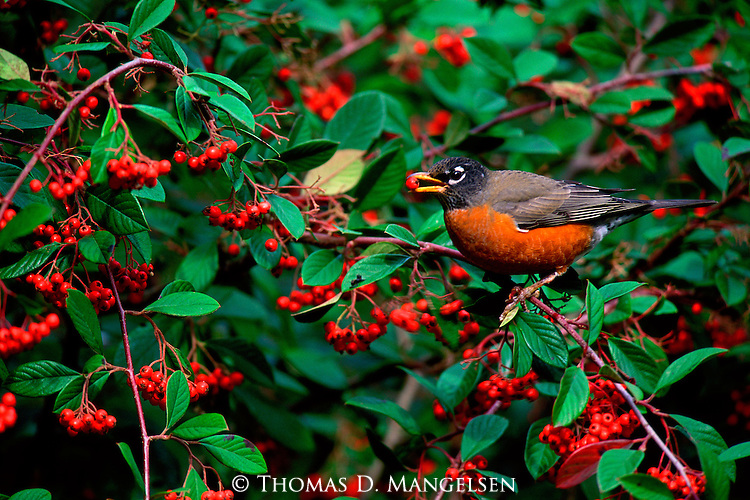 Robin feeding on plentiful berries in Point Reyes National Seashore.