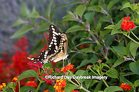 03017-008.01 Giant Swallowtail (Papilio cresphontes) on Red Spread Lantana (Lantana camara) Marion Co.  IL