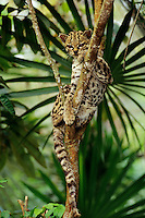 Margay (Leopardus wiedii), Central America and South America