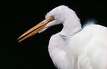Portrait of a great egret in Florida.