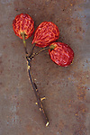 Stem of Dog rose or Rosa canina lying with its three wrinkled red rosehips on rusty metal sheet