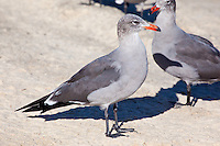 Heermann's Gull, Sea of Cortez, Baja, Mexico