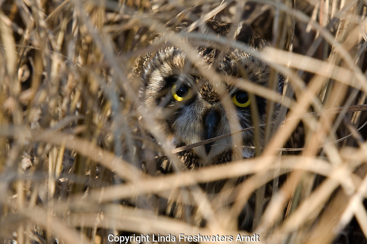 Short-eared owl (Asio flammeus) hiding in the dried marsh grass