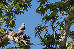 Rose Canyon, San Diego, California; an adult white-tailed kite perched on a tree branch and framed by leaves in early morning sunlight