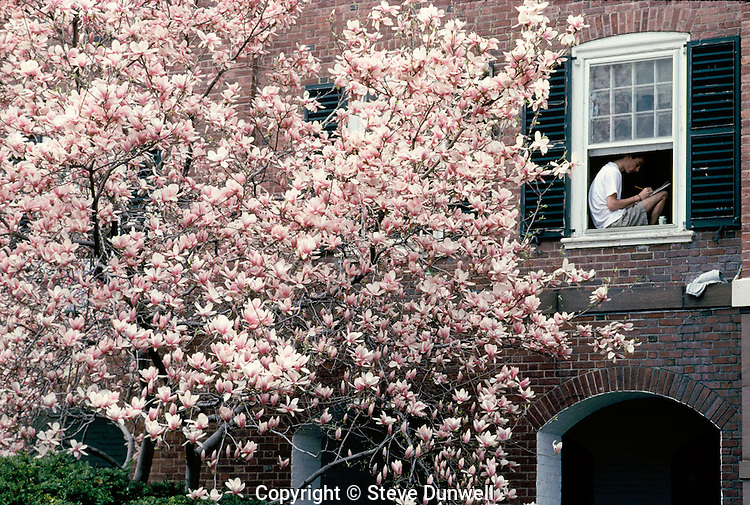 magnolias, Timothy Dwight, Yale University, New Haven, CT