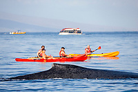A humpback whale, Megaptera novaeangliae, surfaces near kayaks off the island of Maui, Hawaii.