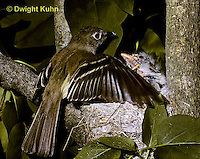 FC01-060z  Least Flycatcher - adult trying to protect  young with wings - Empidonax minimus