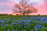 Spectacular Bluebonnet Sunset  - A last minute find of this field of bluebonnet with this mesquite tree at sunset in the hill country was a great catch. We had been driving for most of the evening looking for bluebonnets on the backroads in the Texas Hill country to photograph at sunset, but when the sun started going down we realized the hills would make it too dark on the flowers when the sun finally went down behind them from this location. So we gave up the plan as we thought it was too late to find another spot and were heading out of the area on this back country road when we spotted a nice patch of bluebonnets around the corner on another dirt road and decided to go check them out for a future visit.  When we got here this field of bluebonnets with this mesquite tree which was just beginning to bloom looked like it might be a good spot to come back on another day.  All the sudden as the sun was going down it started to back light the sky with pinks and purples and yellows so as fast as we could we pull out the tripod and started photographing this short moment with this fantastic sky after sunset. It was only there for a short time before it evaporated into the evening in the Texas hill Country.  This area of the hill country is an unpaved dirt roads nothing but open ranches with these wonderful texas wildflowers  growing through out the ranch land and an occasional cow might cross your path going to the other side of the road.  Whew it was a great last minute catch before the show was over.  Thats the problem it not always that easy to capture a texas wildflower sunset, but we got lucky tonight!