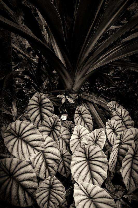 Turtle Shell plant. Hawaii Tropical Botanical Gardens. Hawaii, The Big Island.