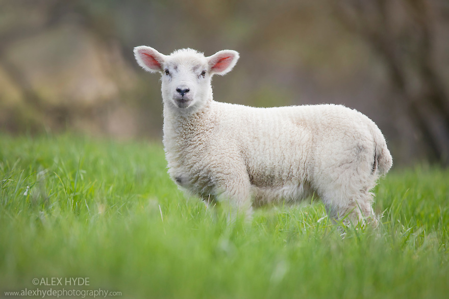 Lamb in field, Peak District National Park, UK. May.