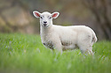 Lamb in field, Peak District National Park, UK. May.