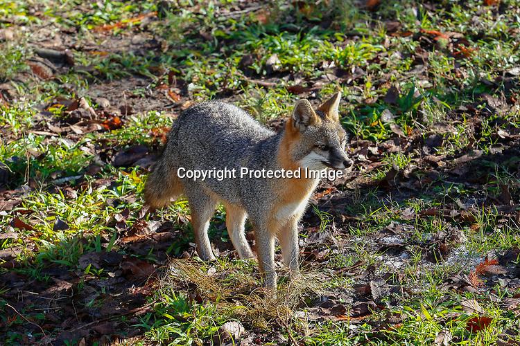 Eastern Grey Fox Homosassa Springs State Wildlife Park