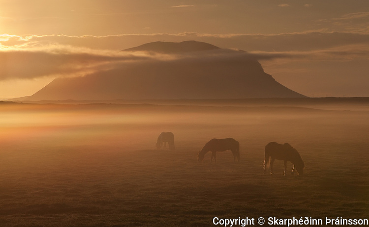 Icelandic horses in the morning mist at sunrise, in front of mountain Búrfell, south-west Iceland.