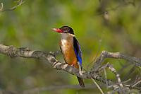 Black-capped Kingfisher - Halcyon pileata