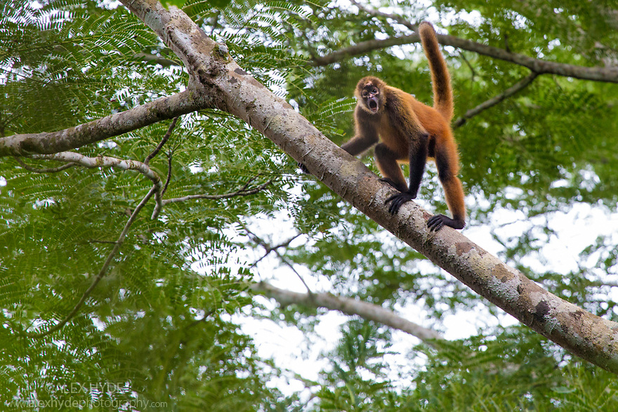 Black-handed Spider Monkey {Ateles geoffroyi}. Osa Peninsula, Costa Rica. May. IUCN Red List Endangered species.