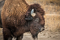 Bison also know as Buffalo the largest North American land mammal, at the National Bison Range in Montana. <br /> <br /> The National Bison Range is a diverse ecosystem of grasslands, Douglas fir and ponderosa pine forests, riparian areas and ponds. The Range is one of the last intact publicly-owned intermountain native grasslands in the U.S. In addition to herds of bison, it supports populations of Rocky Mountain elk, mule deer, white-tailed deer, pronghorn, and bighorn sheep as well as coyotes, mountain lions, bears, bobcat and over 200 species of birds.<br /> <br /> President Theodore Roosevelt established the National Bison Range on May 23, 1908 when he signed legislation authorizing funds to purchase suitable land for the conservation of bison. It was the first time that Congress appropriated tax dollars to buy land specifically to conserve wildlife. The overall mission of the National Bison Range is to maintain a representative herd of bison, under reasonably natural conditions, to ensure the preservation of the species for continued public enjoyment.<br /> <br /> The original herd of bison released in 1909 was purchased with private money raised by the American Bison Society and then donated to the Refuge. Today, 350-500 bison call this refuge home.