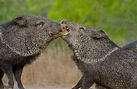 650520264 two wild boar javelinas or collared peccaries dicolytes tajacu threat posture on santa clara ranch hidalgo county rio grande valley texas united states