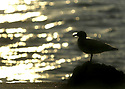 Sea gull bird silhouetted in setting sun on the water. Stock photography by Olympic Photo Group