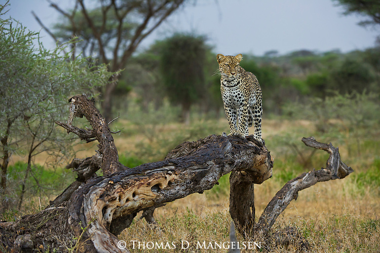 A female leopard stands on a fallen tree in the late evening light calling for a mate in the Ngorongoro Conservation Area in Tanzania.