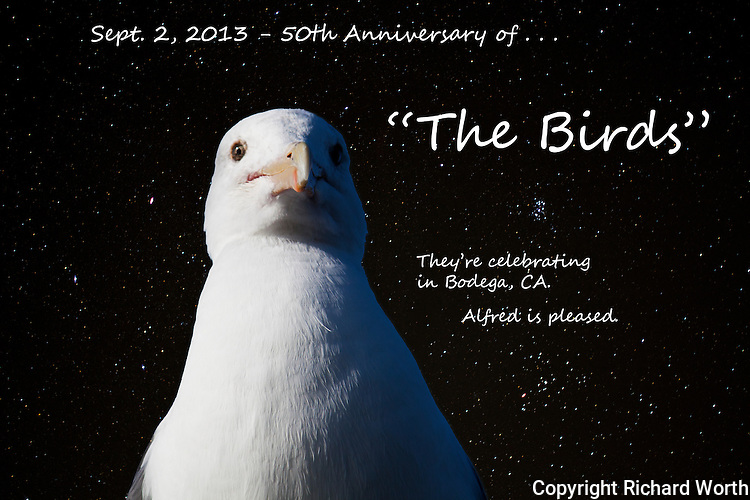 "A gull, a villan in Alfred Hitchcock's ""The Birds', is  the producer's alter-ego, here, noting the 50th anniversary of the perpetually popular 'scary movie', filmed  over a half century ago in the Californa coastal village of Bodega."