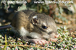 Merriam's kangaroo rat, Dipodomys merriami, Death Valley National Park, California