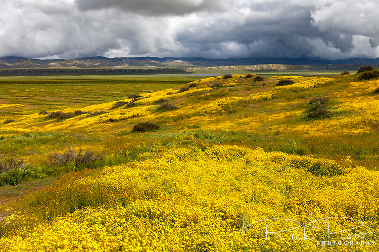 Stormclouds hang over the Temblor Range as wildflowers bloom at California's Carrizo Plain National Monument