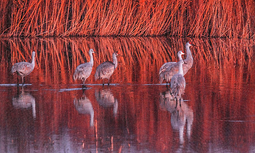 Sandhill Cranes are rflected in the waters at Bosque Del Apache National Wildlife Refuge, New Mexico