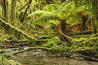 Native rainforest with tree fern, moss and stream, Westland Tai Poutini National Park, UNESCO World Heritage Area, West Coast, New Zealand, NZ